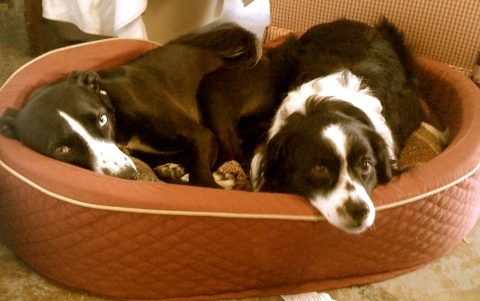 Dogs sharing a bed