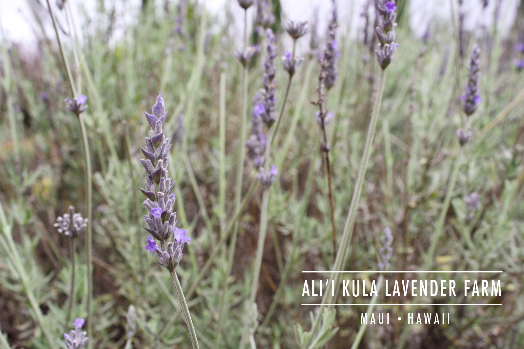 AKL-MAUI_Lavender-Header-Image