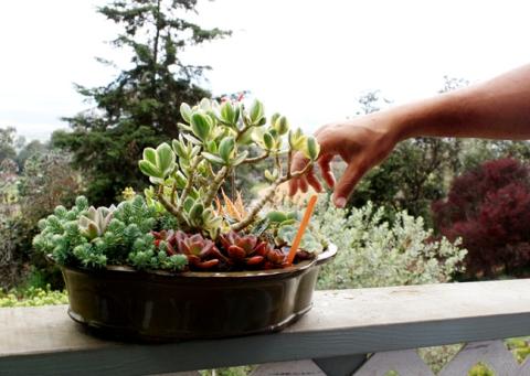 AKL-Maui_Propogating-Succulents