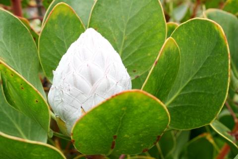 AKL-Maui_Protea-Bud