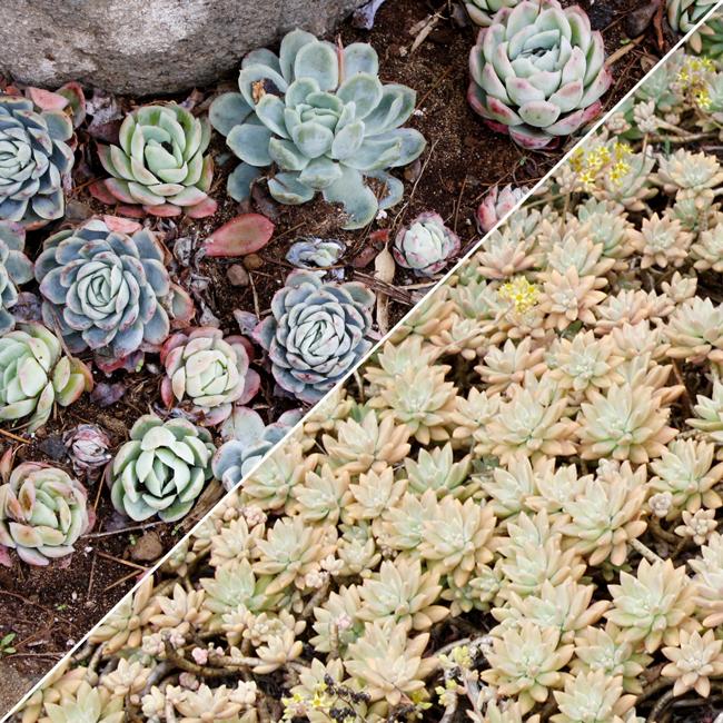 AKL-Maui_Succulents-2