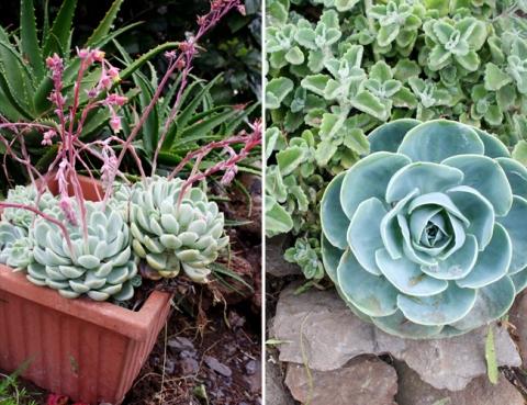 AKL-Maui_Succulents